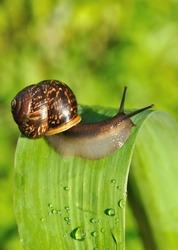 garden snail on the leaf
