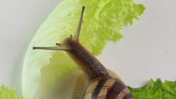 Garden snail on white background. a snail crawls on a white surface, sticks out its horns. the use of mucus in cosmetics.