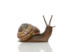 Garden Snail on white background with reflection