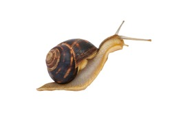 Garden snail with brown striped shell is crawling on a white background. Garden snail isolated on white.