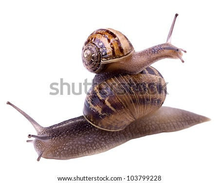 Garden snails on top of each other looking at different direction. Isolated on white