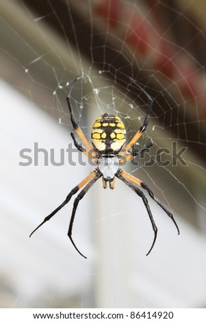 Garden spider (also called orb weaver) is a large, but harmless insects eater, beneficial to gardens