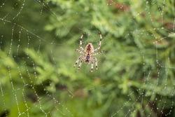 Garden spider (Argiope aurantia) in its net