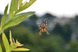 Garden spider in the cobweb