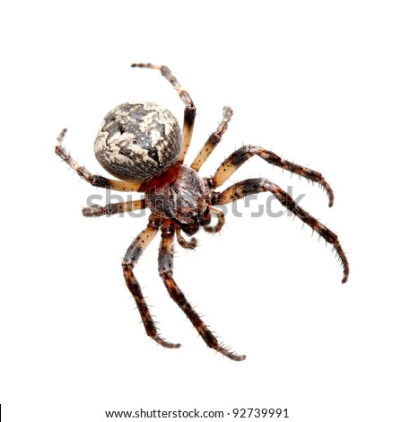Garden spider on the white background, (Araneidae)