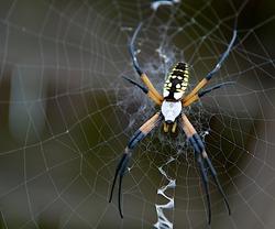 Garden spider spinning a web.