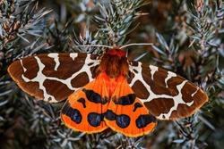Garden Tiger moth - Arctia caja, beautiful colored moth from European forests and woodlands, Zlin, Czech Republic.