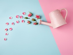 Garden watering can with rose petals and buds on dual tone pink and blue background. Creative spring bloom layout with copy space. Women's day, wedding or anniversary idea. Flat lay, top view.