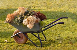 Garden wheelbarrow with pruned autumn shoots of hydrangeas, with branches of coniferous plants and shrubs. Seasonal care and cleaning of the garden concert