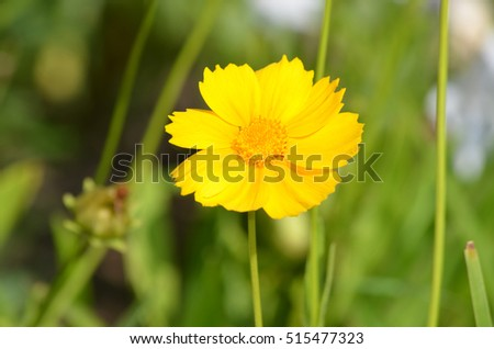 Garden with flowering yellow coreopsis flower.