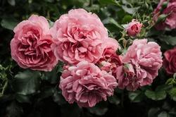 Garden with fresh pink roses, floral natural hipster vintage background