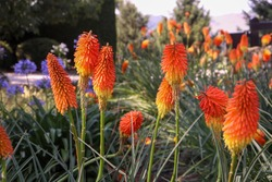 Garden with knipholia nobilis red hot poker flowers plant gardening photography