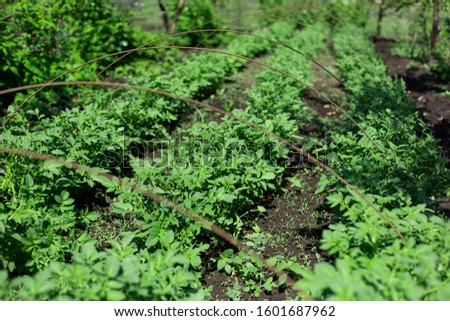 garden with potatoes planted in rows. Agriculture concept.