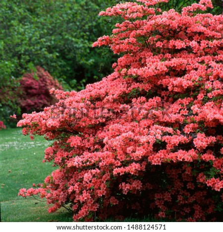 Garden with shrub of rhododendron #1488124571