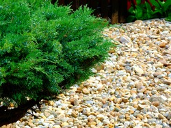 Garden with smooth river rocks and  small green juniper shrub or bush. selective focus. simple and low maintenance landscaping concept. blurred background. bright green evergreen plant.
