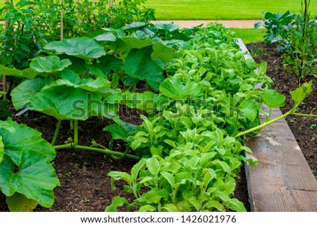 garden with variations of organic vegetables and salad growth and harvest #1426021976