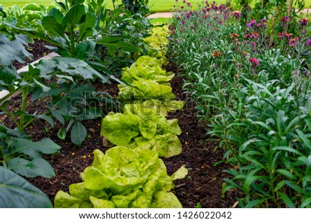 garden with variations of organic vegetables and salad growth and harvest #1426022042