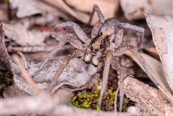Garden Wolf Spider female on the prowl at Red Hill Nature Reserve, ACT, Australia on an autumn evening in April 2020