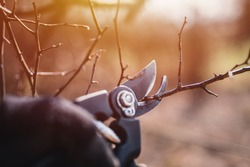Garden work of spring. Farmer hand prunes and cuts branches of a tree in the garden with pruning shears or secateurs in spring. Man pruning tree with clippers. Spring cut tree close up.