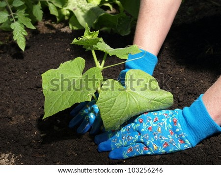 Garden work: planting cucumber seedling with gloves - stock photo
