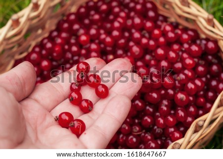 garden worker picking up fresh berries of red currant to wicker basket