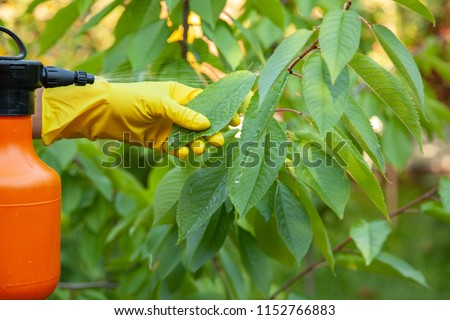 Gardener applying insecticidal fertilizer for fruit cherries and protects against fungus, aphids and pests using sprayer ストックフォト ©