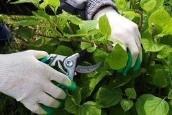 Gardener cutting a hedge hydrangea with a garden pruner, close uppruning bushes. Pruning a hydrangea bush
