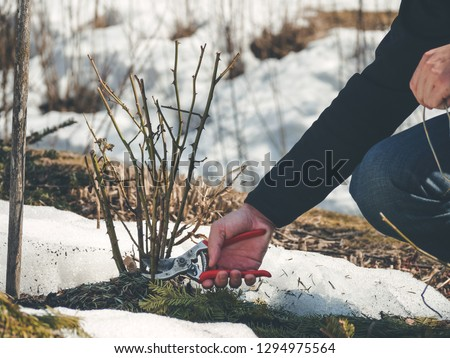 gardener cutting back shoots and branches on a rose shrub to remove any dead or diseased growth and shape the plant