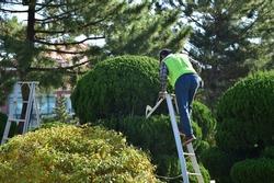 Gardener cutting tree using trimmer.