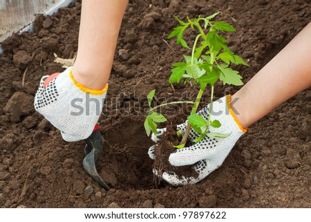 Gardener hands planting tomato seedling in ground