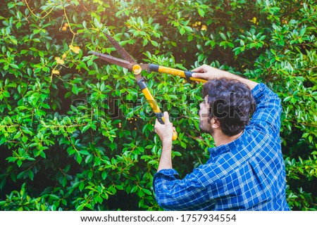 Gardener hedge trimming or rip bush with grass shears gardening scissors activity working during stay home at backyard. Stockfoto ©