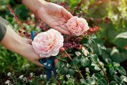 Gardener holds pink rose Abraham Darby blooming in summer garden. English Austin selection roses flowers. Nostalgic shape