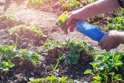 Gardener is spraying young strawberry bushes leaves by blue liquid known as Bordeaux mixture from bottle to protect it and prevent infestations of downy mildew, powdery mildew and other fungi.