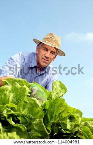 Gardener looking over lettuce heads