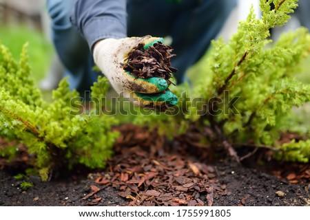 Gardener mulching with pine bark juniper plants in the yard. Seasonal works in the garden. Landscape design. Ornamental shrub juniper. ストックフォト ©