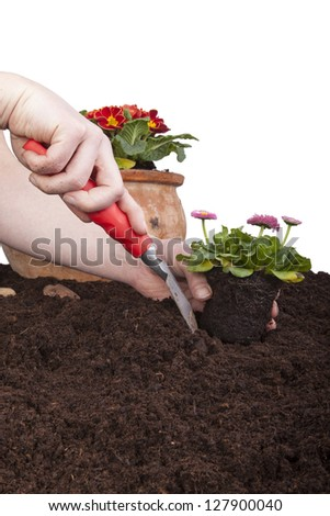 gardener planting bellis perennis (daisies) in flower soil, isolated on a white background. primroses in a terracotta flowerpot.