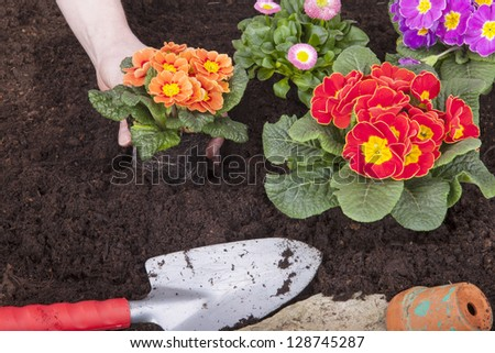 gardener planting primroses and daisy flowers in flower soil, isolated on a white background. flower bed with decoration, flowers and tools.