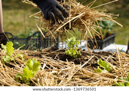 Gardener planting seedlings in freshly ploughed garden beds and spreading straw mulch. Organic gardening, healthy food, nutrition and diet, self-supply and housework concept.  #1369736501