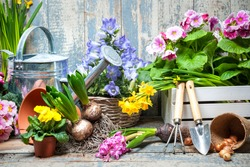 Gardener planting spring flower