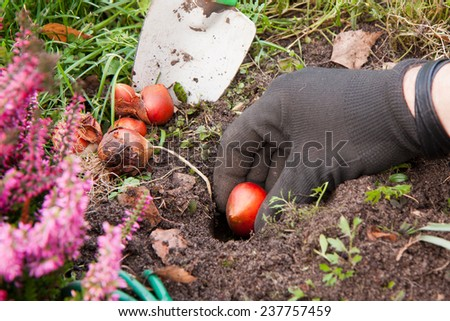 Gardener planting tulip  bulbs out in the garden. #237757459