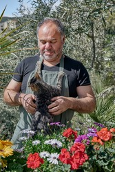Gardener plays with a funny gray cat while arranging the flower plants on the counter in the flower shop counter outdoors or home garden. Indoor garden.Greenery. Home garden. Pets.