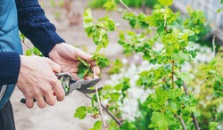 Gardener pruning currant bushes in the garden. Selective focus. nature.