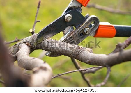 gardener pruning fruit trees with pruning shears Stockfoto ©