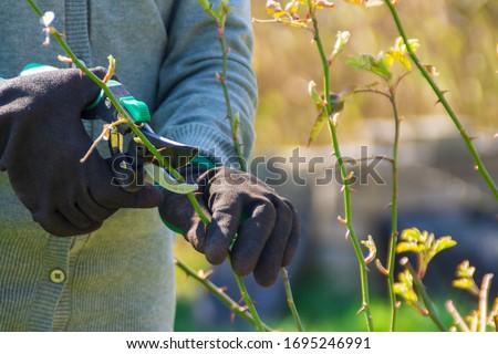 Gardener pruning rose bushes in spring. Spring pruning roses Stockfoto ©