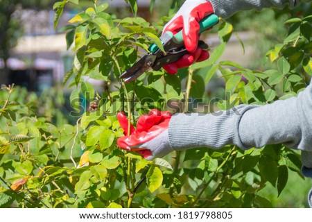 Gardener pruning rose bushes in the fall. Autumn pruning roses Stockfoto ©