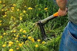 Gardener removing weeds from yard. Device for removing dandelion weeds by pulling the tap root. Weed control. Dandelion removal and weeder lawn tool with 4 claws. Garden work and care.