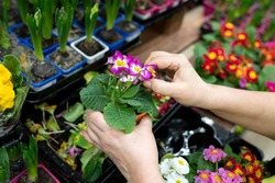 Gardener's hands remove a dried leaves of Primula denticulata in a flower shop or greenhouse. A woman holding a Primula in gives the plant a marketable appearance. Selective focus