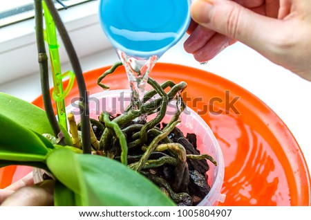 Gardener watering cymbidium orchids in landscape format. Plant care orchids. Healthy roots of young plants Orchid. Proper care and maintenance of plants.