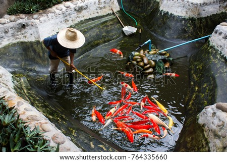 Gardener with a straw hat cleaning the koi fish in fish pond.