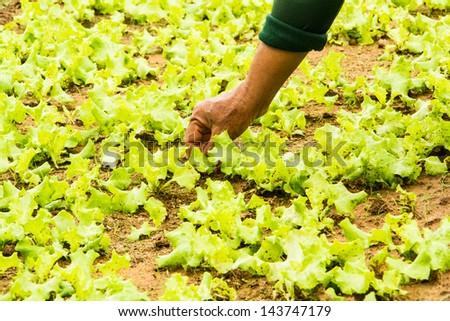 Gardener working in lettuce field in Thailand.